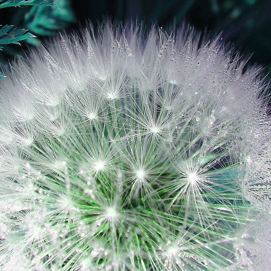 Cool white dandelion with waterdrops #waterdrops #dandelion #white #green #flower #flowers #cool #fotosbykarin #Redbubble #pretty