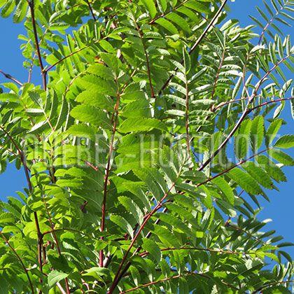 image de Sorbus aucuparia Cardinal Royal