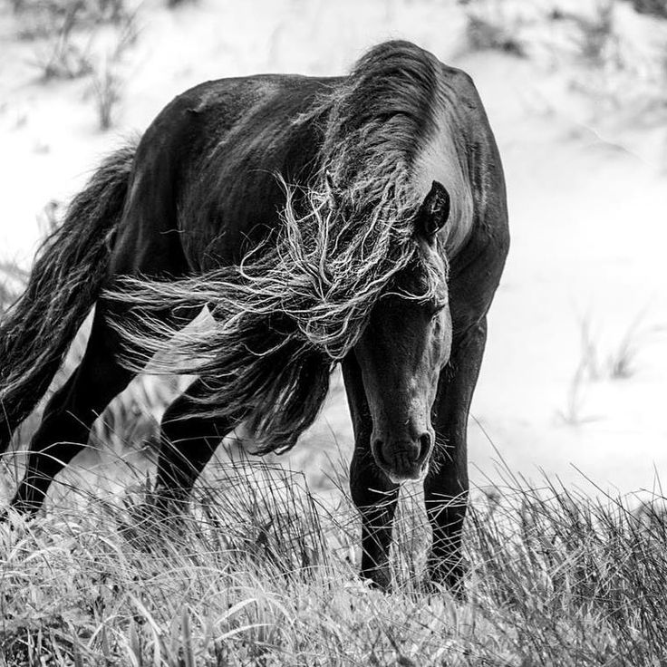 244 vind-ik-leuks, 4 reacties - SandySharkey (@sableislandwildhorses) op Instagram: ''Mane in the Wind' Sable Island's breezy climate sends horse's manes up to reach the sky. I…'