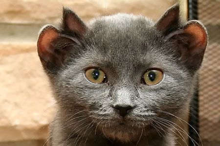 Cat with four ears: A Chicago couple took the cat in after they visited a local bar, where a group of drinkers were handing the cat around making fun of it. Despite his strange appearance, he is a perfectly normal and affectionate cat. His extra ears are thought to be the result of a genetic mutation.