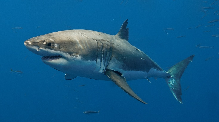 swim with Great Whites! (in a cage)