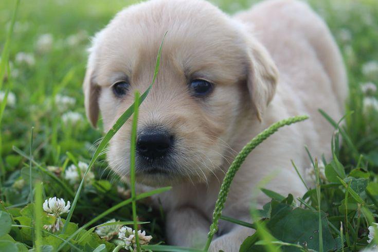 Golden Indiana Joe Male Puppy Retriever Sale St Taylor