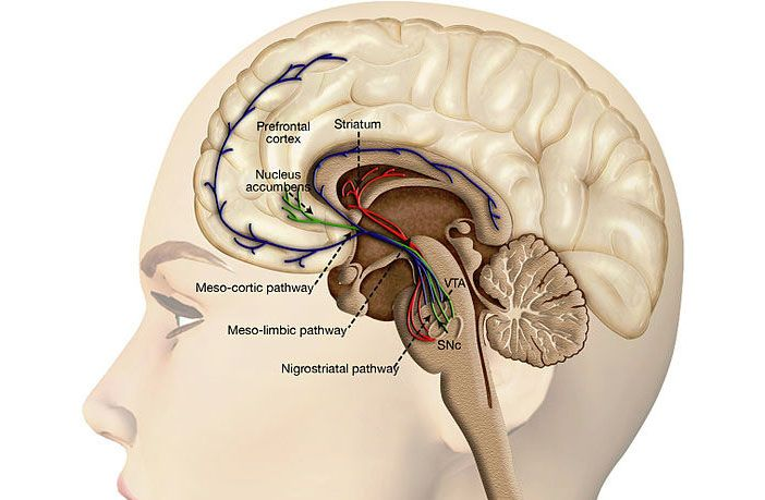 Study links Facebook use to reduced gray matter volume in the nucleus accumbens