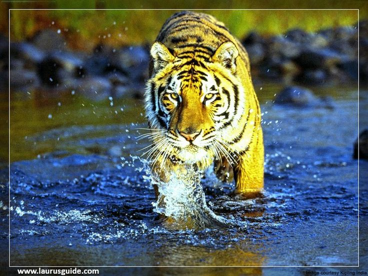 Jim Corbett National Park is the oldest national park in India and was established in 1936 as Hailey National Park to protect the endangered Bengal tiger. It is located in Nainital district of Uttarakhand and was named after Jim Corbett who played a key role in its establishment.