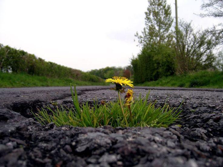 Одуванчик больше известен как сорная трава, от которой люди обычно стараются избавиться. Однако многие недооценивают...