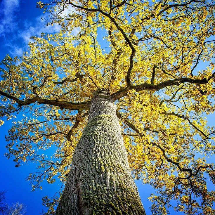 Jeszcze jedno wspomnienie złotej jesieni. Dąb Rzeczpospolitej w okolicy Górzna - 500 lat historii w jednym drzewie. Robi wrażenie!   Polecamy te okolice właściwie o każdej porze roku. Piękne lasy, górzysty, jak na tą część kraju krajobraz. Świetne warunki do spacerów, jazdy rowerem, a zimą na narty biegowe.   #kujawskopomorskie #lubietubyc #lubiepolske #igerspoland #jesień #jesien #autumn #tree #rower #drzewo #listopad #górzno #poland #polska