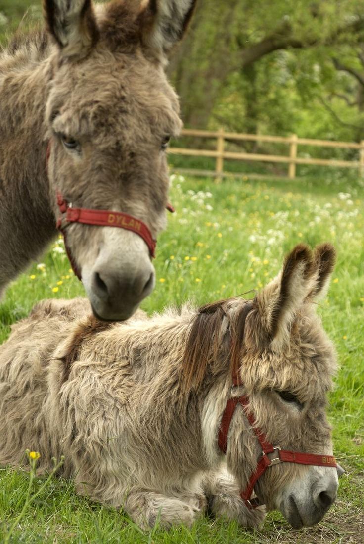 1138 Best Burros Donkeys Amp Mules Images On Pinterest