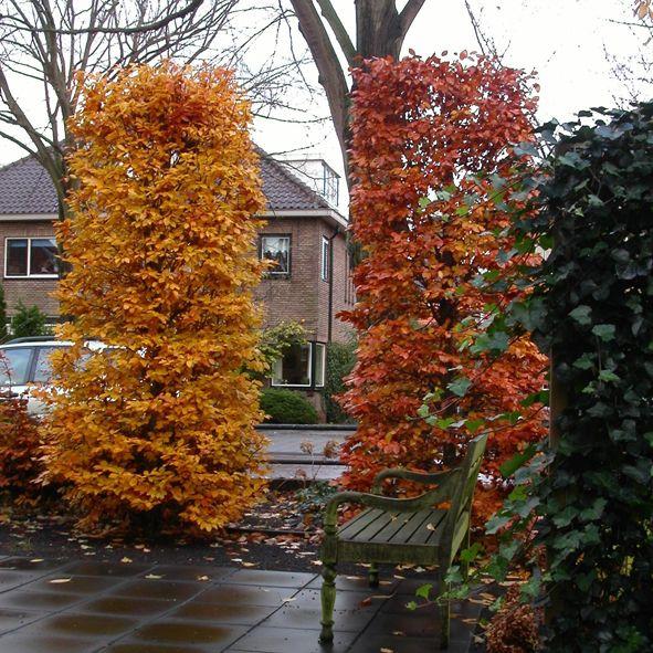 Fagus salvatica in herfst kleuren