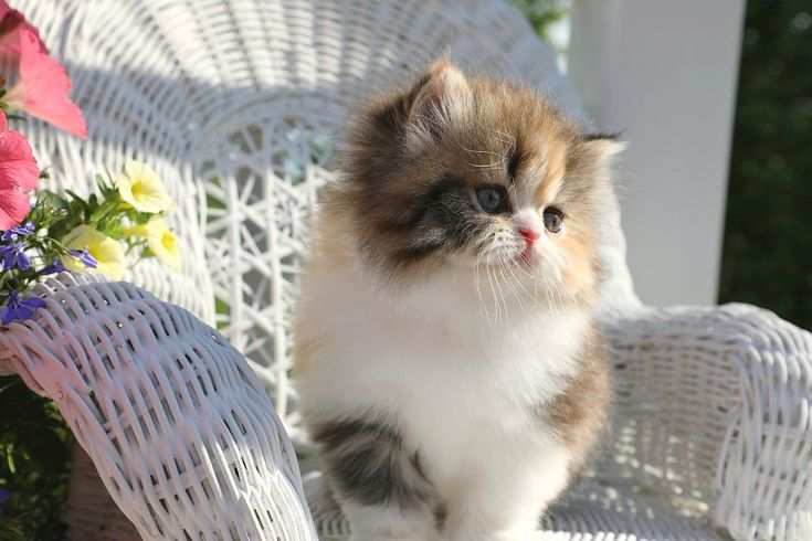 Lucy - Click Here - Ultra Rare Persian Kittens For Sale - (660) 292-2222 - Located in Northern Missouri (Shipping Available)Ultra Rare Persian Kittens For Sale – (660) 292-2222 – Located in Northern Missouri (Shipping  Available)