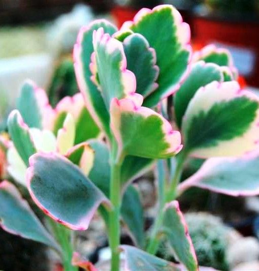 kalanchoe fedtschenkoi. I have this one!! has very pretty pink rossette flowers