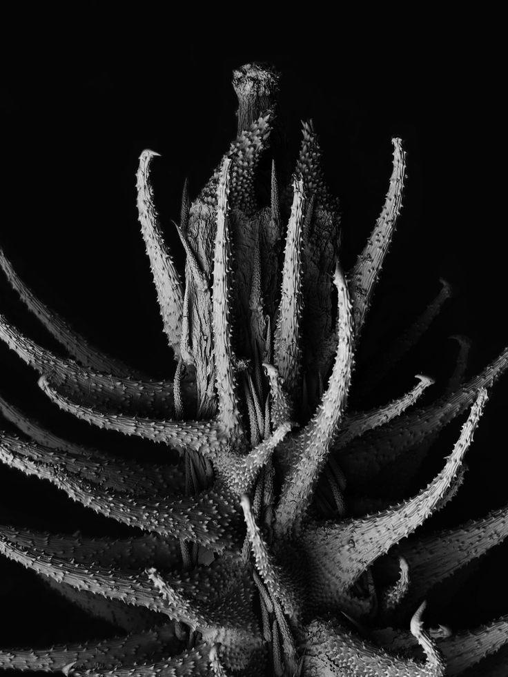 """Matsuura Tomoya, Withered plant, """"Torilis scabra"""" — larghezza dell'immagine 1,8 mm"""