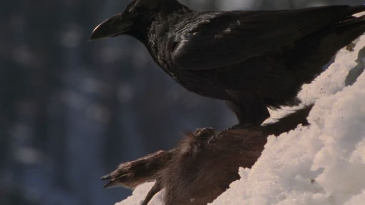 corvo hd - Cerca con Google