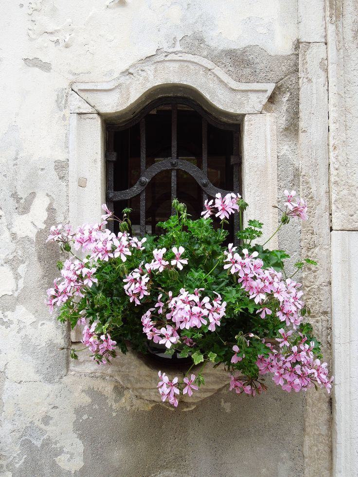 Favorite Geraniums in a charming stucco window