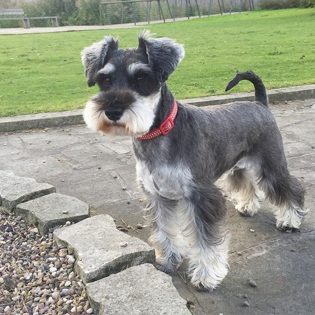 schnauzer haircut styles miniature schnauzer smart and obedient schnauzers 2501