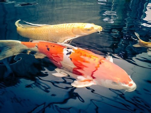 1000 images about beautiful koi fish on pinterest for Koi pool opening times