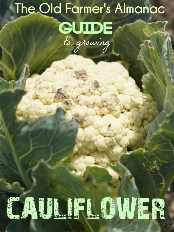 This cool-season crop can be tricky to grow. Take a look at The Old Farmer's Almanac's guide to growing cauliflower to help during the growing season!