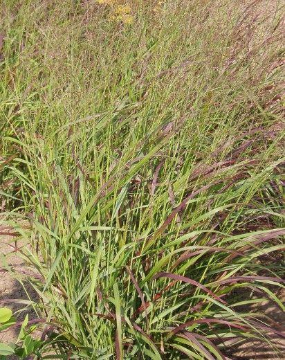 Panicum virgatum 'Strictum' (Vingergras, Pluimgierst, Switch grass) - p9