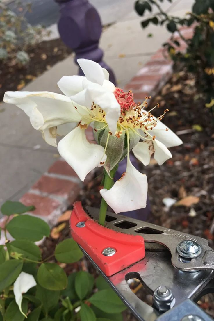 August Rose Pruning For Southern California Finegardening Fine Gardening Magazine Fine Gardening Southern California