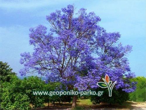 Δέντρα σκιάς : Παουλόβνια - Παυλώνια δέντρο - PAULOVNIA TOMENTOSA