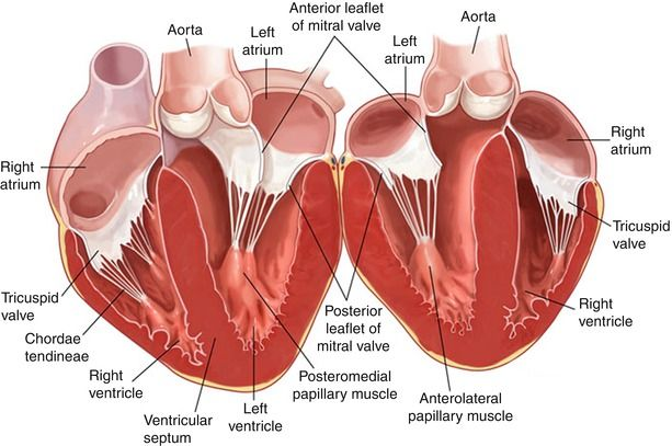 image result for posteromedial papillary muscle blood. Black Bedroom Furniture Sets. Home Design Ideas