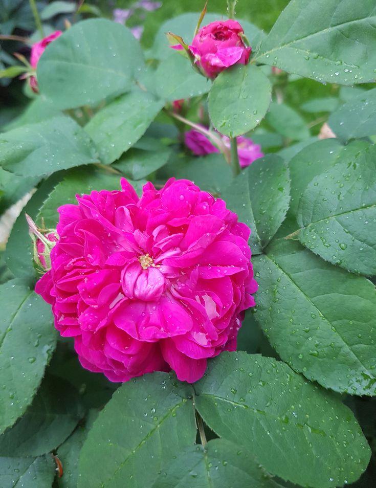 En juvel av en rose som oppfyller alle krav hos meg.