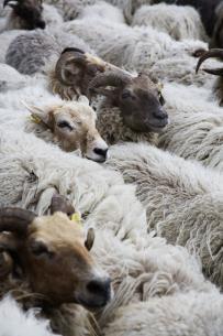 Drenthe Heath sheep   Claudy Jongstra. The place where I live....lots of heath.
