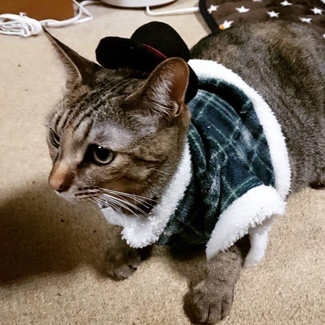 チョコちゃんに服着せてみた(*^^*) #愛猫 #コスプレ#可愛い猫