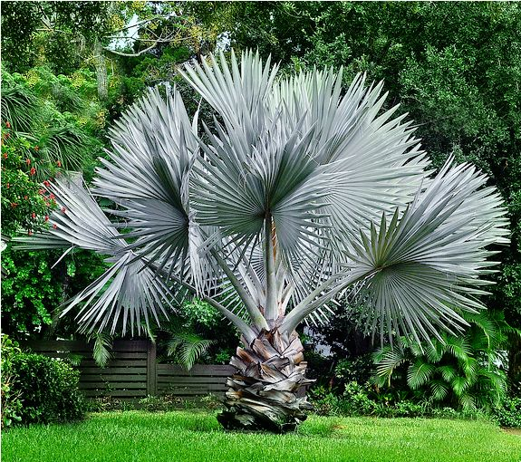 The Bismarck Palm Tree, scientific name Bismarckia nobilis, is one of the most desired fan palms in Florida. Description from shop.millenniumnursery.com. I searched for this on bing.com/images