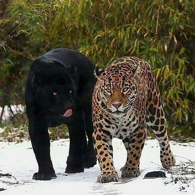 картинки с леопардами пантерами львами пумами дети взрослеют дням
