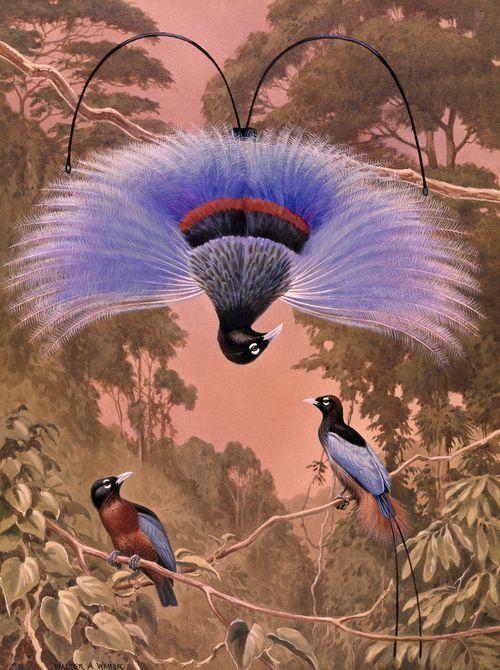 Blue bird of paradise performs a courtship ritual, Walter A. Weber, 1950