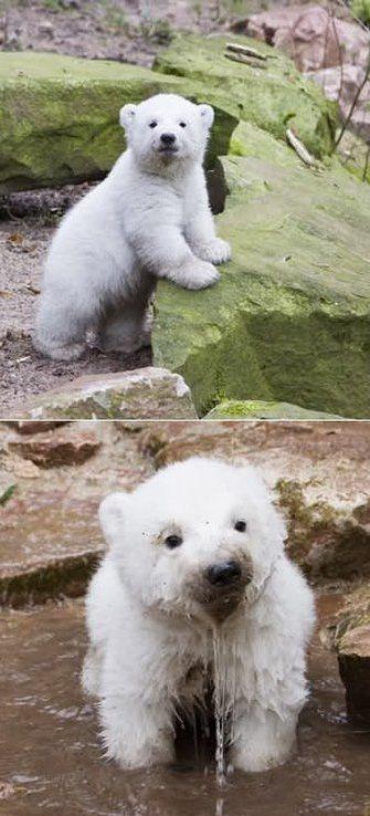 Baby Polar Bears