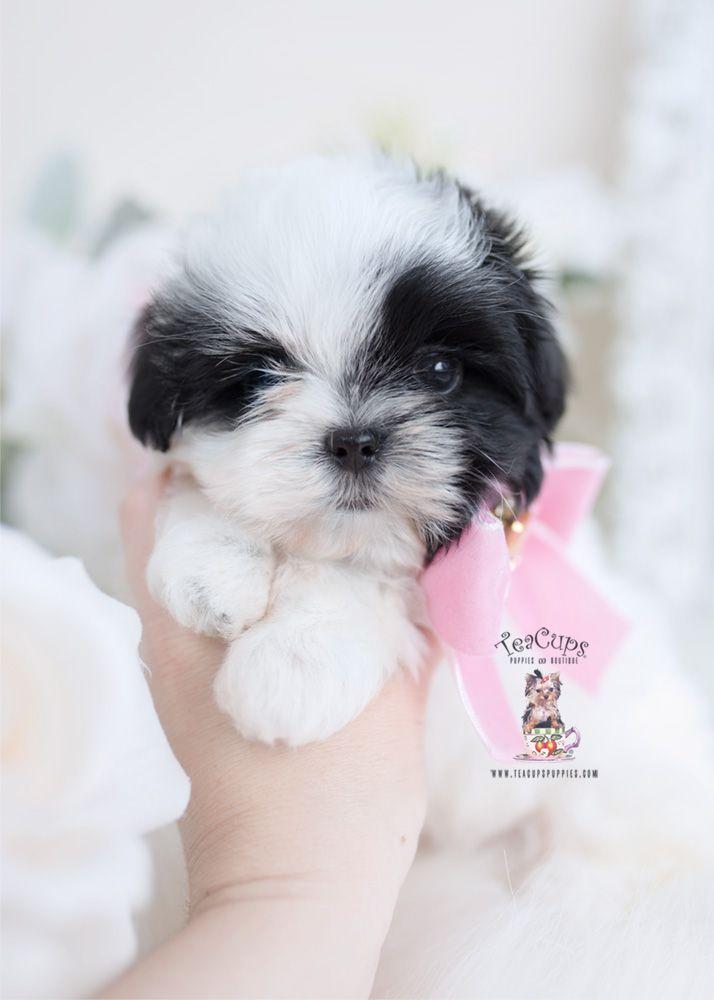 Malshi Maltese Shih Tzu Designer Breed Puppy 092 A Teacup Puppies Maltese Shih Tzu Puppies For Sale