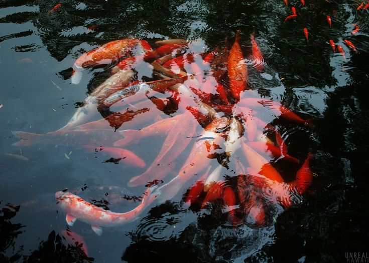 17 best images about byodo in temple heian kyoto on for Chinese koi fish for sale