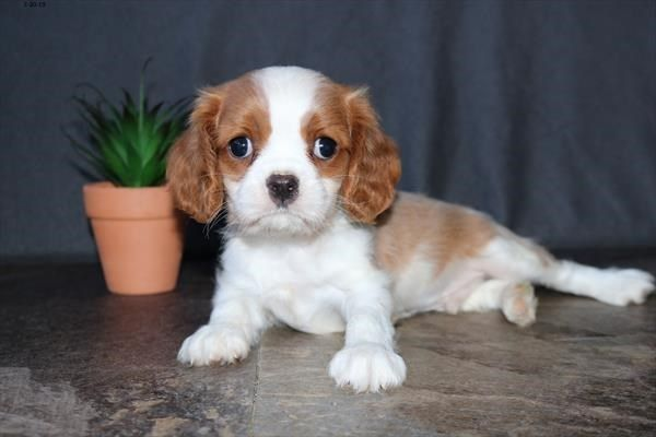 Petland Kansas City Has Cavalier King Charles Spaniel Puppies For Sale Check Out Al King Charles Cavalier Spaniel Puppy Spaniel Puppies For Sale Puppy Friends