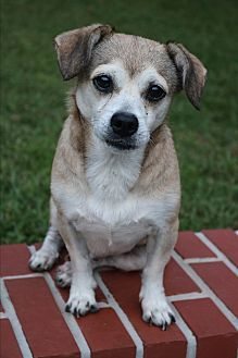 Hagerstown, MD - Pug/Chihuahua Mix. Meet Toby, a dog for adoption. http://www.adoptapet.com/pet/19134731-hagerstown-maryland-pug-mix