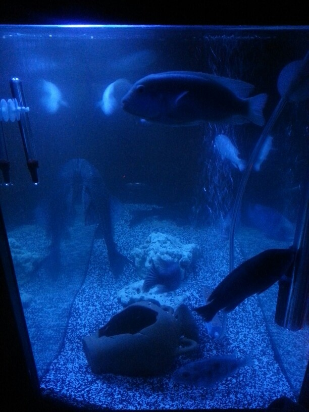 akvaryum ve ciklet balıkları