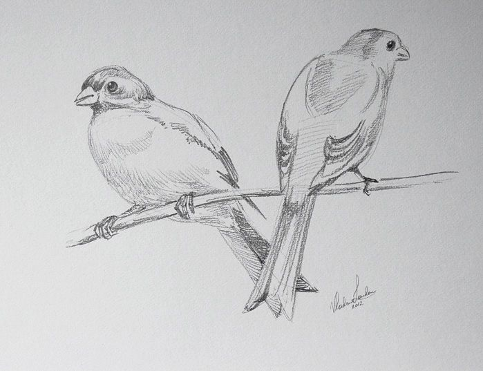 Drawings of birds google search