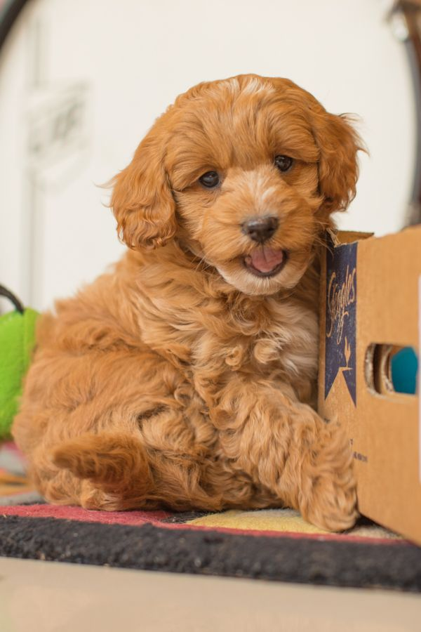 This Is A Cavoodle Puppy His Mum Is A Cavapoo Cavalier King Charles Cross Miniature Poodle And His Dad Is A Toy Poodle Dogs And Kids Cute Puppies Puppies