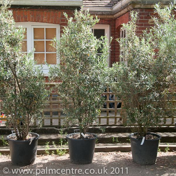 Olive trees for sale From Palm Centre