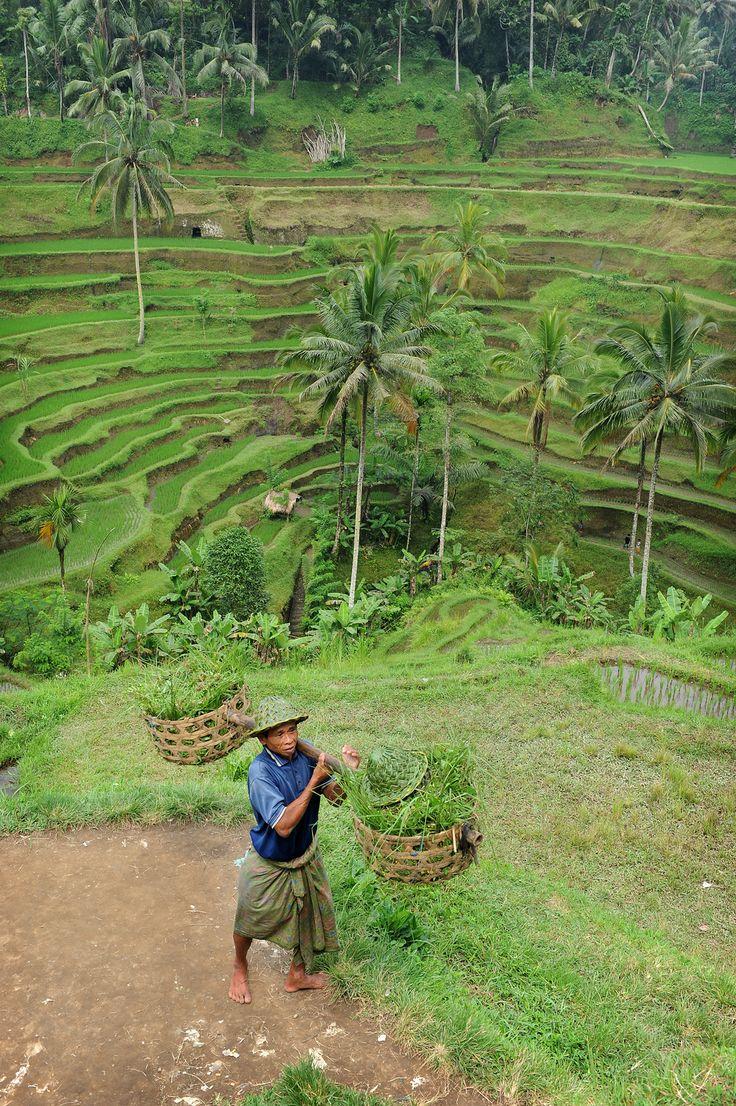 Salaperäinen Bali  #bali #ricefields  http://www.exploras.net/salaperinen-bali
