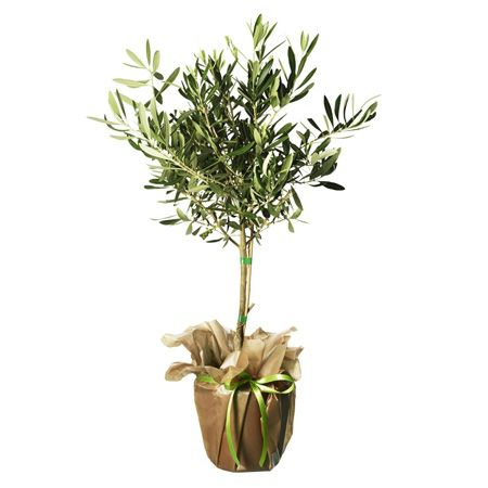 love all types of olive plants