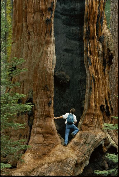 'A visitor peers into a giant sequoia in Sequoia National Park' by National Geographic