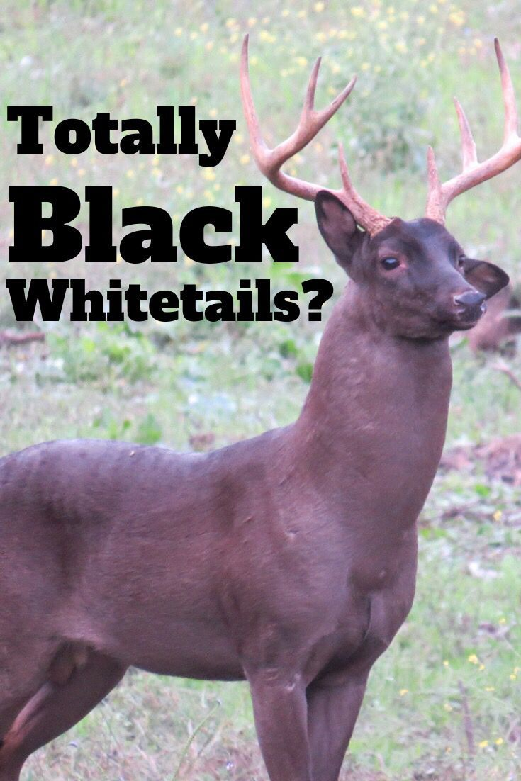 Have You Ever Seen A Black Whitetail While Deer Hunting Chance Are No You Haven T Deer Hunters Have Only Kil Deer Hunting Whitetail Deer Hunting Melanistic