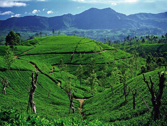 Sri Lanka: Sri Lanka Tea, Places To Travel, Tea Plantations, Travel Places, Teas, Beautiful Places, 1000 Places, Asia