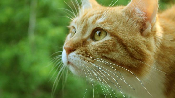 Ginger-Cat-Face-HD-Wallpapers.jpg 1.920×1.080 pixels
