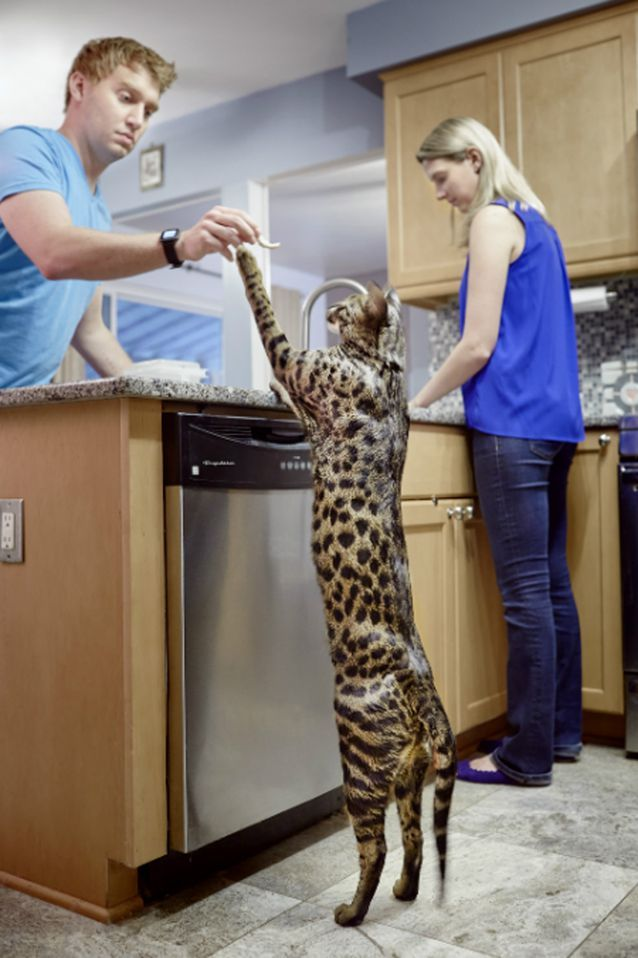 15 Pets With Guinness World Records With Images Giant Cat Breed Giant Cat Cat Breeds