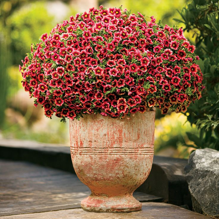 These petite blooms with the dark centers are a sweet way to serenade the birds in your garden.