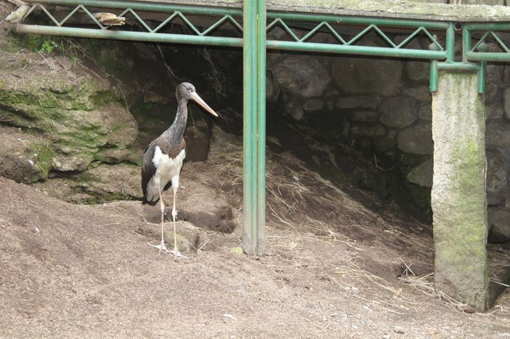 Ejemplar de cigüeña negra que se acaba de incorporar al parque zoológico de Avifauna.