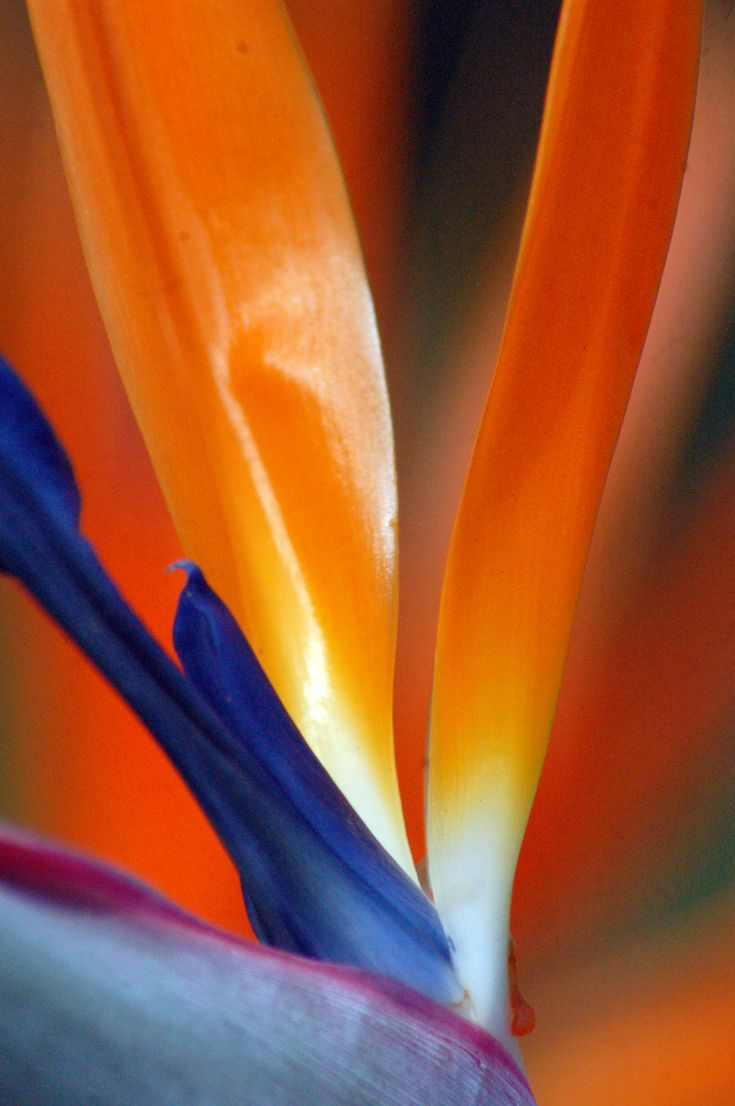 Best 25 paradise flowers ideas on pinterest birds of paradise bird of paradise flower in paradise buycottarizona