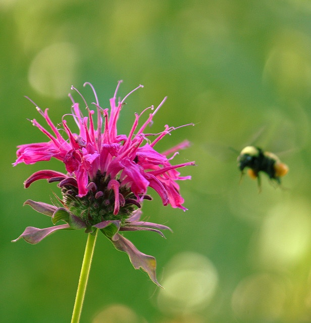 Pink Bee Balm Targeted by Bee